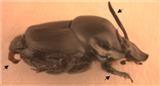 Bio_Parzer_beetle LOGO